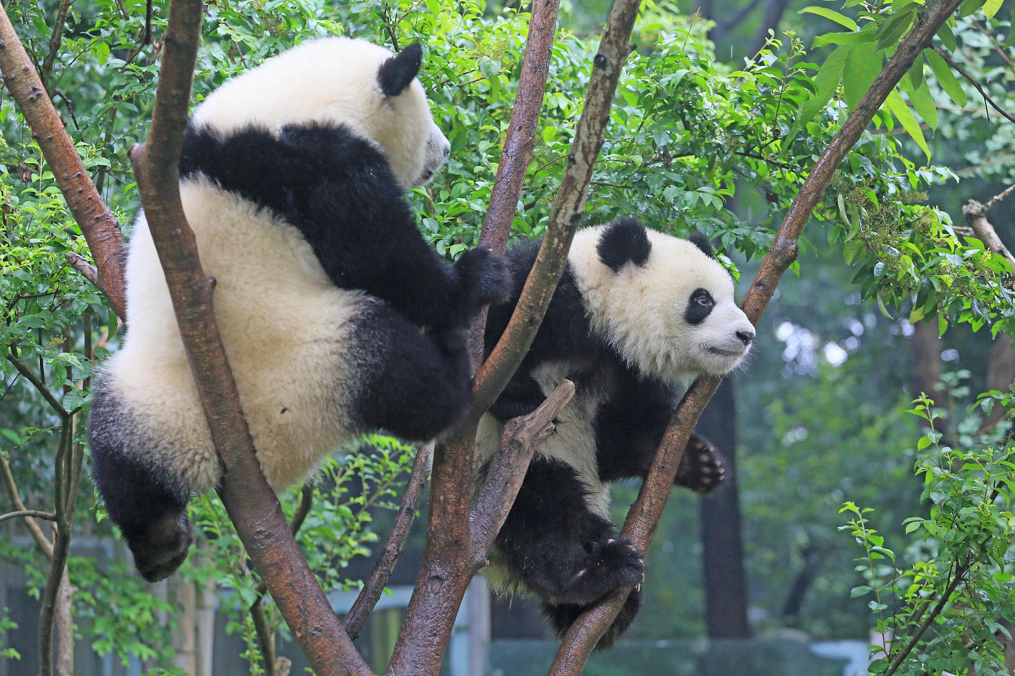 壁纸 大熊猫 动物 1980_1320